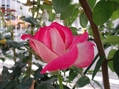 夏のバラ その2