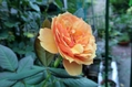 昨日のバラ