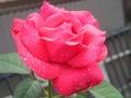 蓮・睡蓮・薔薇