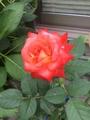 ふみ月のバラ