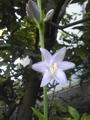 オオバギボウシ咲きました