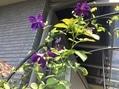 やっと咲きました。ルエリア
