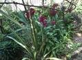 夏の宿根草と八重咲き朝顔