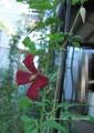 今日のバラ様と、コレボン2番開花
