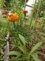 最近の庭から~オフ会で頂いた植物など