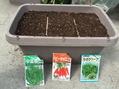 わさび菜、ベビーキャロット、春菊の栽培