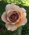 8月に入ってハイビスカス開花🌺