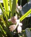 ハルシオンが咲いたシェードガーデン