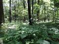 森の妖精レンゲショウマを見に赤城自然園に行って来ました。