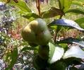 お茶の木の実