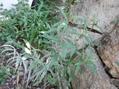 最近の庭から~山野草のオフ会で頂いた植物など