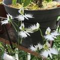 初めて、サギソウが開花