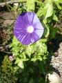 青斑入蝉葉 紫縞吹雪?