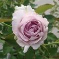 今日元気なバラ…「ルシファー」‼️
