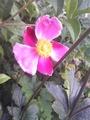 シュウメイギク1番花