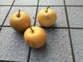 8月3日幸水梨の収穫