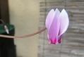 シクラメンが咲いてきた