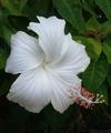 ✨真っ白ハイビスカス✨の夏が🌺