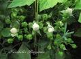 バジルの花[i:148]