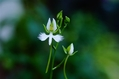サギソウの開花