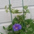 青い花のきしめんが咲いた!