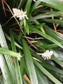 ノシラン咲きました!