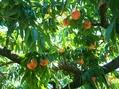 桃、スモモ、プルーン、ブルーベリー狩り