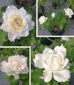 今日元気なバラ…「ル ブラン」‼️
