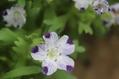 3年目でネモフィラ・マクラータが咲いた