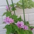 一株で多数開花