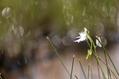 山室湿原 自生地のサギソウ と ハッチョウトンボ