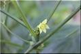 チュラウリの花