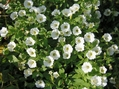 小花のペチュニア