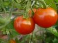 大玉トマト最後の収穫