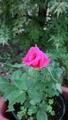 挿木のバラ