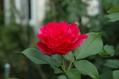 今朝のバラ ③