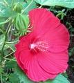 タイタン・バルカンが咲きました