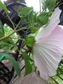 アルテミス初花咲きました 🌺