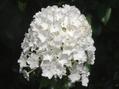 暑いので、白い花を・・・