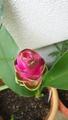 100円球根の花達、開花中♪