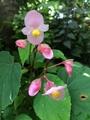 サギソウがやっと咲き始めました