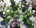 今日元気なバラ…「オードリー ヘップバーン」‼️
