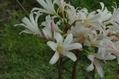 もっとも早咲きのリコリス