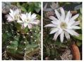 多肉植物の子株とサボテンの花