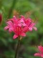 リコリス開花