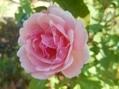 今日のバラ(^^♪