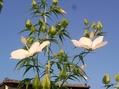 ギボウシ 八重咲きタマノカンザシの蕾♪
