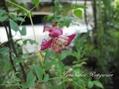 園芸種の朝顔も
