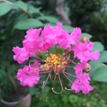 サルスベリが咲き始めました