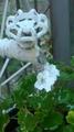 ☆白いゼラニウム☆